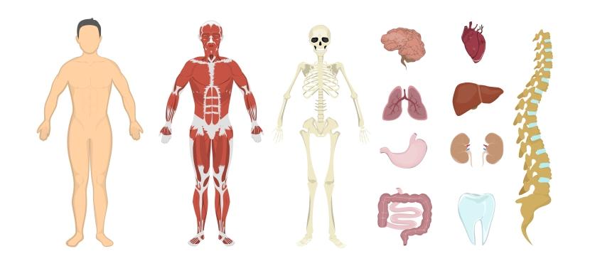 Integração entre ossos e órgãos emúsculos